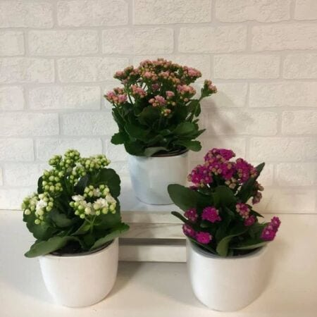 Kalanchoe Potted Plant